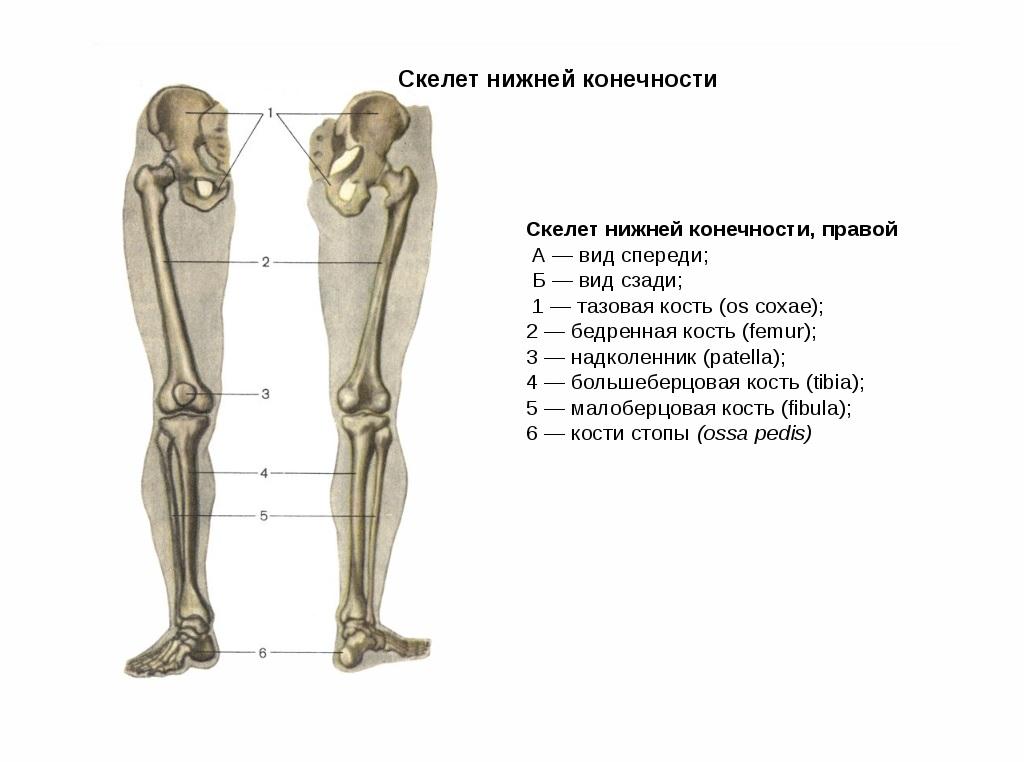 мышцы и кости на ногах