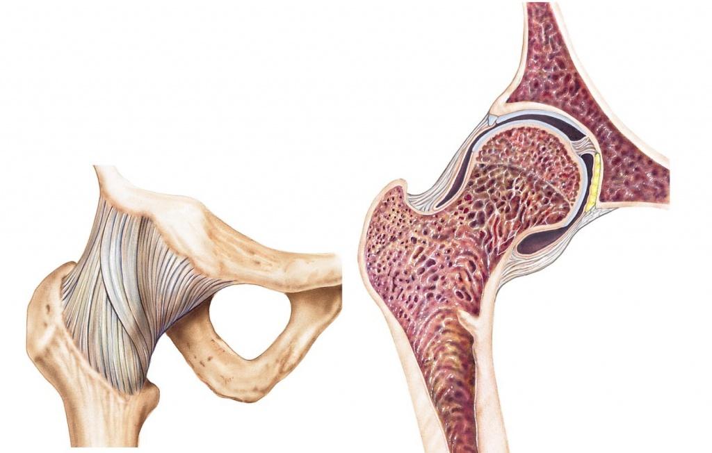мышцы ноги схема суставы