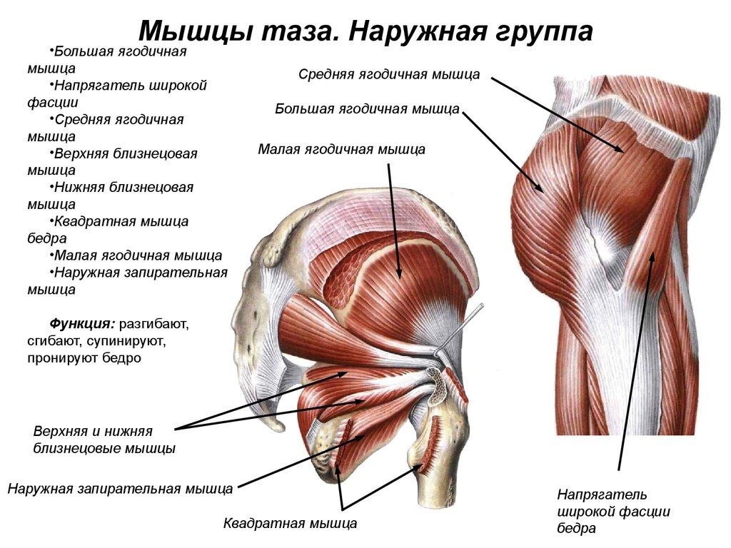 одно, что мышцы ягодичные строение фото мир наполнен