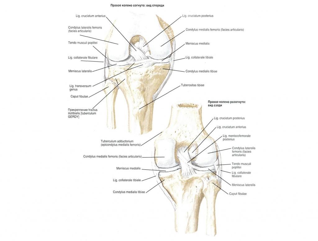 строение мышц ноги человека суставы
